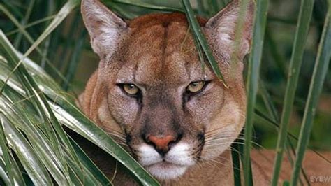 Florida panther killed on road, sets record for panther
